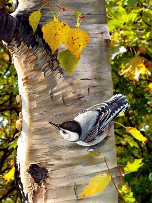 Fall Nuthatch