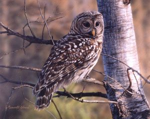 Majestic Barred owl