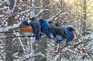 Winter Bluebirds