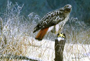 Winter Redtail